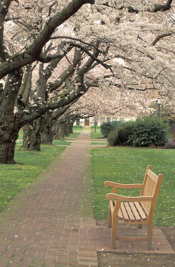 Bench beside brick walkway lined with blossoming cherry trees, University of Washington, Seattle, Washington