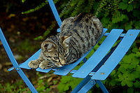 Tabby kitten sitting on a blue chair, Pleurtuit, Brittany, France.