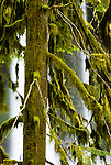 Moss-covered Douglas fir, Silver Falls State Park, Oregon