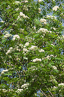 Vogelbeere, Eberesche, Vogel-Beere, Sorbus aucuparia, Syn. Pyrus aucuparia, rowan, mountain-ash