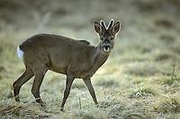 Europäisches Reh, Rehwild, Reh-Wild, Bock, Rehbock, Männchen, Geweih im Bast, Capreolus capreolus, roe deer