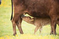 Beef suckler cows out on grass with calves at foot <br /> ©Tim Scrivener Photographer 07850 303986<br />      ....Covering Agriculture In The UK....