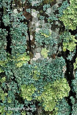 LI01-015x  Foliose Lichen - on tree trunk