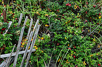 Rose hips and weathered wind fence, Cape Cod, Massachusetts, USA
