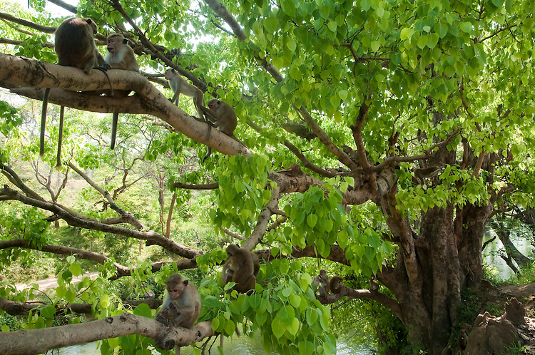 A group of toque macaques rest from the heat of the day in a tree above an irrigation channel that borders both the town and their archeological reserve home. Pollonoruwa town, Sri Lanka. IUCN Red List Classification: Endangered
