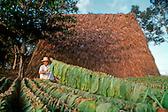 "Cuba, March 1992: Following the harvest , the tobacco is carried on the ""cujes"" near Vignales in Cuba. It will be stored in the Casa de Tobaco, a a rare traditional tobacco drying house where it will begin to dry and ferment."