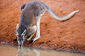 Australia,  NSW, Sturt National Park; red kangaroo male (Macropus rufus) drinking at water hole; the red kangaroo population increased dramatically after the recent rains in the previous 3 years following 8 years of drought