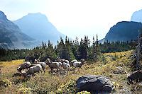 Bighorn Sheep, Glacier National Park, Montana