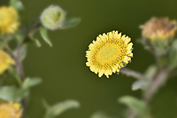 Small Fleabane - Pulicaria vulgaris