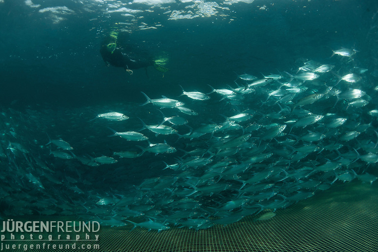 45,000 bangus or milkfish (Chanos chanos) grow in this sea cage with snorkeler swimming in.  Sea cages grow bangus slower than in ponds. But taste wise sea cage grown milkfish is superior.