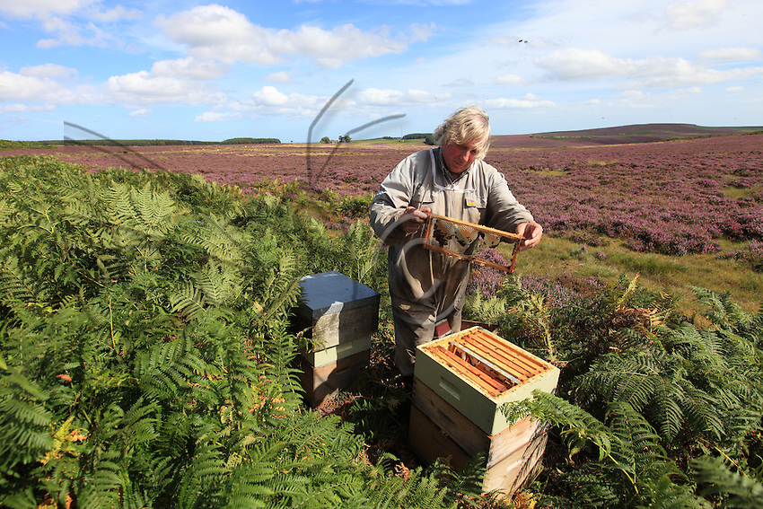The Chain Bridge Honey Farm is a flourishing family business since 1948..Willie Robson In Northumberland have more than 1800 hives and produce heather honey.