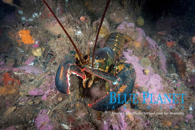 Northern Lobster, Homarus americanus, Deer Island, New Brunswick, Canada, Atlantic Ocean