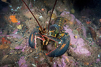 Northern Lobster, Homarus americanus, Deer Island, New Brunswick, Canada, Atlantic Ocean