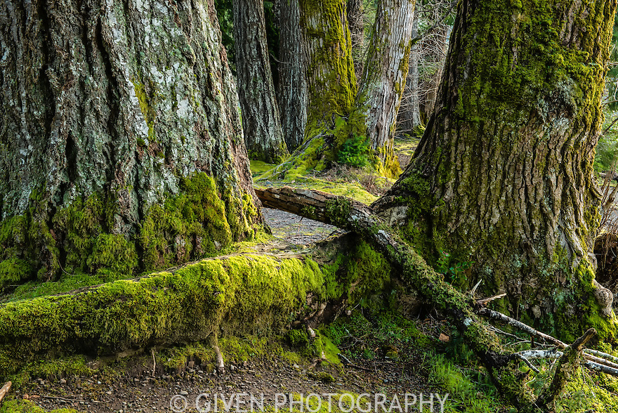 Douglas Firs, Old Growth, Olympic National Park, Washington