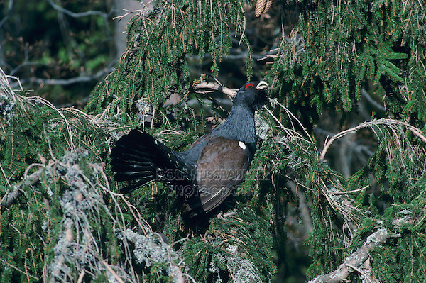 Capercaillie, Tetrao urogallus, male displaying, Schwyz, Switzerland, Europe