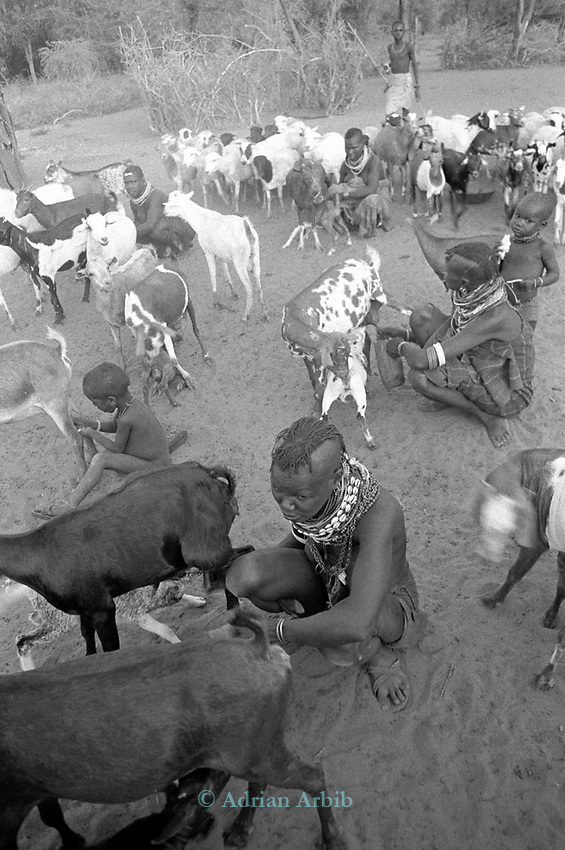 Milking the herd, A Turkana village in the Northern part of the Kenya.<br /> The Turkana are herders of sheep and goats and are constantly migrating with their herds in search of fresh pastures.