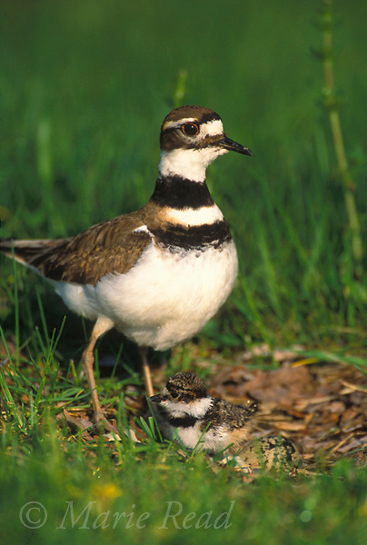 Killdeer (Chardrius vociferus) with newly-hatched chick at nest, New York, USA<br /> Slide # B52-171