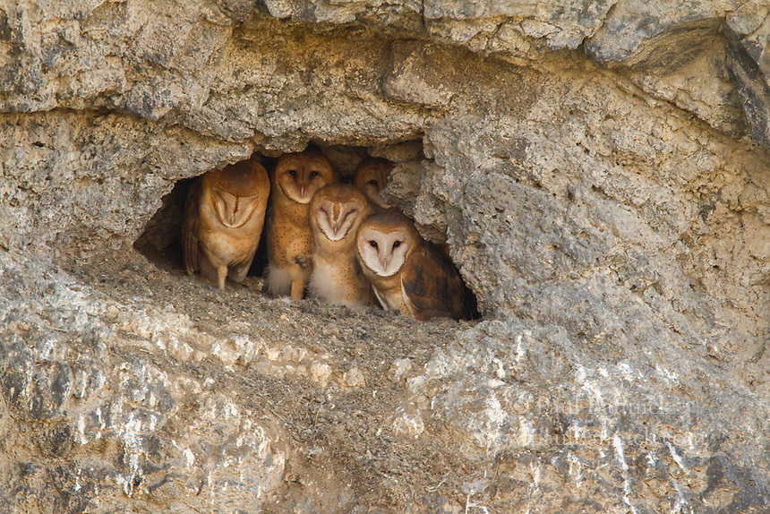 Barn Owl Family in a cliff-side cave