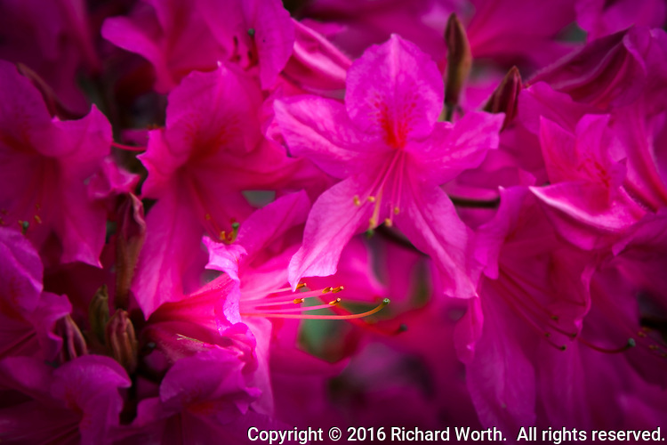 PInk blossoms glow in a neighborhood garden.