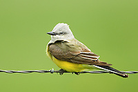 554600002 a wild western kingbird tyrannus verticalis perches on a barbed wire fence near neals lodge in the texas hill country of central texas