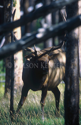 Bull elk peering under a fallen tree in a forest in Montana