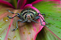 Metallic Wood-boring Beetle or Jewel Beetle (Euchroma gigantea) Costa Rica
