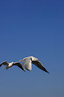Birds Adult Black-headed Gulls Larus ridibundus hovering over sea Zingst Baltic sea coast Germany
