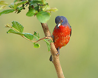 Painted Bunting male in a 'bashful' pose. Myrtle tree perch in summer.