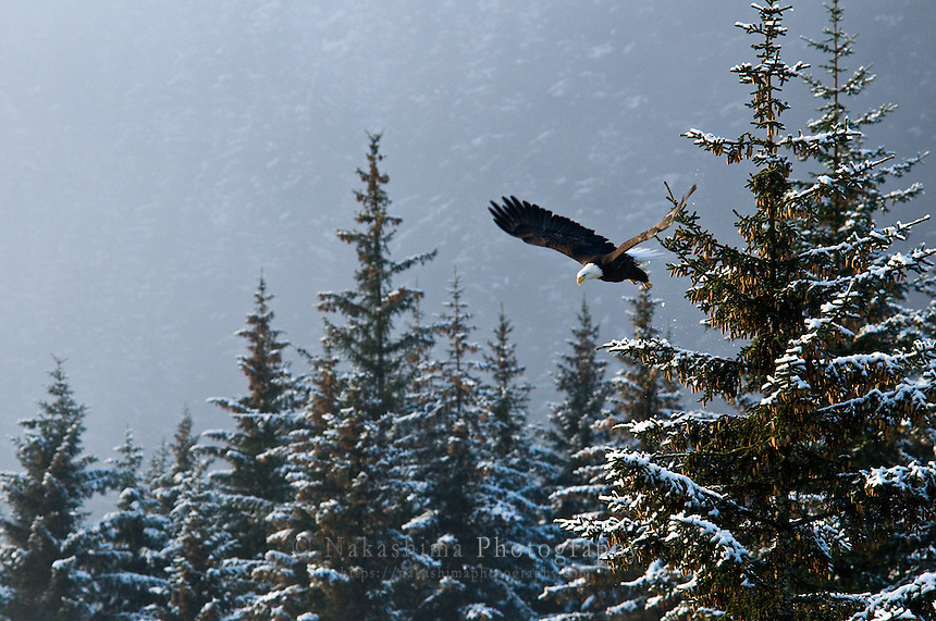 This eagle was waiting for prey then it took off when it found something. There are many eagles in Seward year around.
