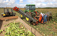 Harvesting Dickson sweetcorn a 17 acre field of sweetcorn, part of a crop of 95 acres on DGJ Tanner's Sopley Farm, Christchurch, Dorset. The cobs will be packed 18 to a box and sold to wholesale markets all over the country.
