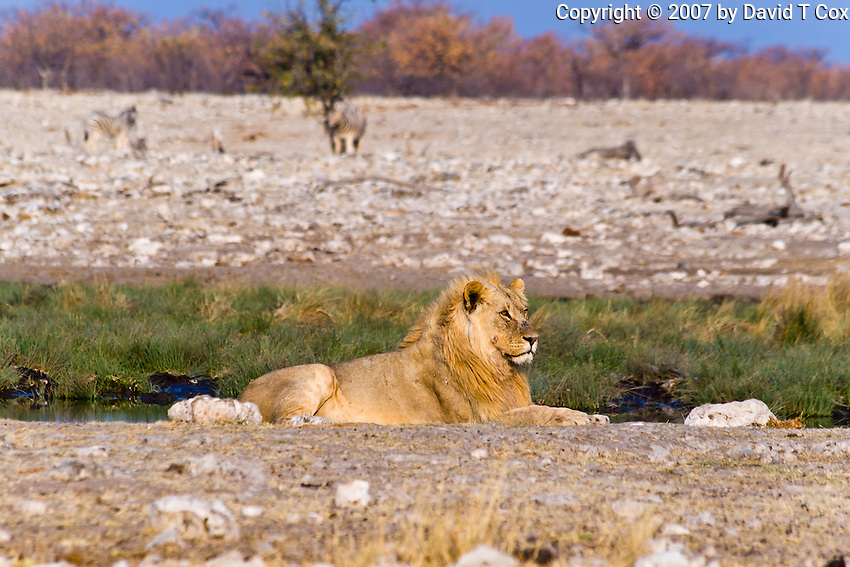 African Lion male and Zebra watching, Rietfontein Waterhole, Etosha NP, Namibia