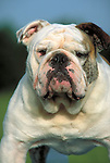 Bulldog<br />