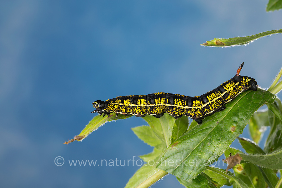 Linienschwärmer, Linien-Schwärmer, Raupe frisst an Weidenröschen, Hyles livornica, Celerio lineata, striped hawk-moth, caterpillar, Le Sphinx livournien, Schwärmer, Sphingidae, hawkmoths, hawk moths, sphinx moths, sphinx moth, hawk-moths, hawkmoth