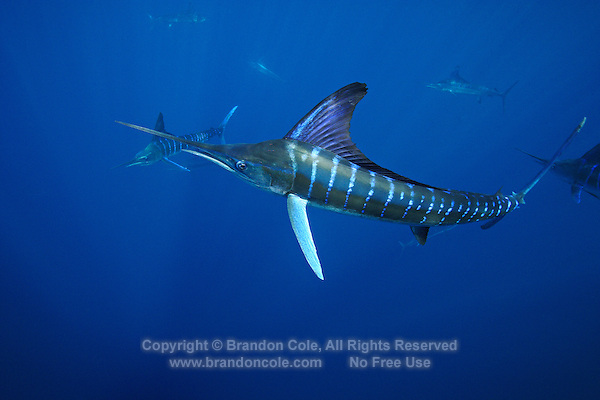 qf0569-D. Striped Marlin (Tetrapturus audax). Baja, Mexico, Pacific Ocean..Photo Copyright © Brandon Cole. All rights reserved worldwide.  www.brandoncole.com..This photo is NOT free. It is NOT in the public domain. This photo is a Copyrighted Work, registered with the US Copyright Office. .Rights to reproduction of photograph granted only upon payment in full of agreed upon licensing fee. Any use of this photo prior to such payment is an infringement of copyright and punishable by fines up to  $150,000 USD...Brandon Cole.MARINE PHOTOGRAPHY.http://www.brandoncole.com.email: brandoncole@msn.com.4917 N. Boeing Rd..Spokane Valley, WA  99206  USA.tel: 509-535-3489