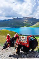 A yak on 15820 foot Kambala Pass (Yamdrok Tso Lake in background), Tibet (Xizang), China.
