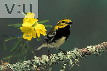 Black-throated Green Warbler male (Dendroica virens)