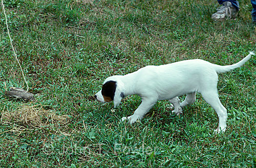 English setter, puppy, learning, pointing, hunting, training, dog, retriever, canine, animal