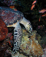 Hawksbill Sea Turtle (Eretmochelys imbricata) of Komodo National Park (Komodo Island, Indonesia).