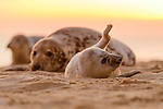 The largest pupping season on Horsey Beach by Andrew Mason