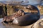 La Jolla, California; a California Sea Lion pup and its mother re-establish their bond by touching noses while resting on the rocky shoreline  in late afternoon sunlight