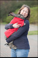 BNPS.co.uk (01202 558833).Pic: Peter Willows/BNPS..Whats Up Doc.....Heidi the pet rabbit is having swimming sessions to cure her arthritis - and has to wear a lifejacket to make sure it isn't a case of 'Watership Drown'...Owner Amanda Williams was recommended by a vet to give the elderly continental giant rabbit hydrotherapy to treat the animals aching hips...Staff strap an adjustable vest designed for small dogs to the four-year-old rabbit and use a hair bobble to pin back her long ears to prevent water getting in them...Heidi is then placed in a heated pool where she spends 45 minutes doggy-paddling up and down...And the seven sessions the 3ft 2ins long rabbit has had so far have already helped to ease the big-eared pet's pain.