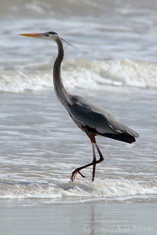 adult great blue heron wading in surf on Gulf of Mexico beach