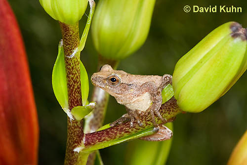 0808-0902  Spring Peeper Frog Climbing on Lily Plant, Pseudacris crucifer (formerly: Hyla crucifer)  © David Kuhn/Dwight Kuhn Photography