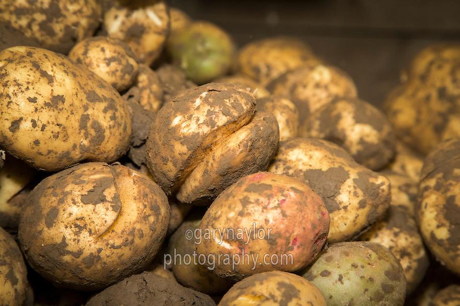 Marfona potatoes with growth cracks