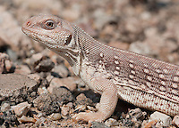 Desert Iguana.Dipsosaurus dorsalis..One of the most heat tolerant lizards, active at temperatures of 115 degrees when everything else is smartly hiding in rodent burrows. They actually go dormant below 85 degrees because they cannot digest food properly.