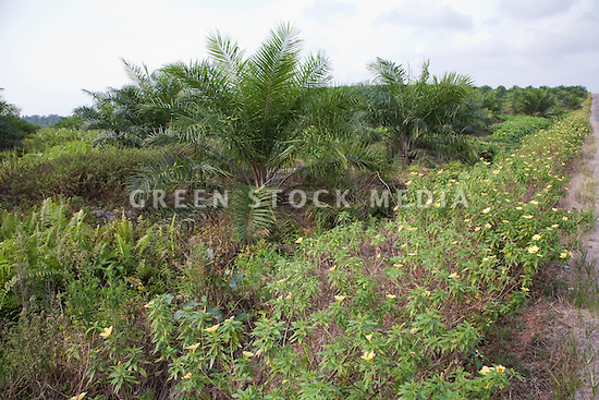 Oil palm trees at the Sindora Palm Oil Plantation, owned by Kulim. The plantation is green certified by the Roundtable on Sustainable Palm Oil (RSPO) for its environmental, economic, and socially sustainable practices. Johor Bahru, Malaysia