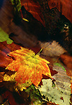 Fallen autumn leaves seem even brighter in a stream, Washington.