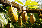 BELIZE, Punta Gorda, Toledo District, Cacao pods hang from a tree in the jungle in the Maya village of San Jose