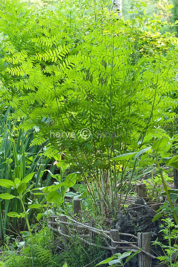 Osmonde royale (Osmunda regalis) dans un jardin // Royal fern, Osmunda regalis in a garden