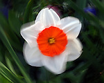 Flower, Cincinnati, Ohio.